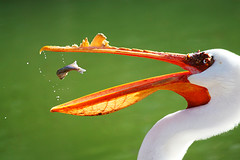 White pelican with lunch in midair (Featured in book, newspapers and nature calendar) (flickrgao) Tags: usa white fish bird beautiful lunch photo image action picture pelican photograph midair actionshot actionphoto timing stillphoto