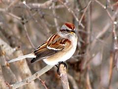 american tree sparrow (gillesC) Tags: bird oiseau americantreesparrow birdwatcher spizellapasserina flickrelite