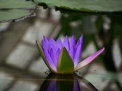 water lilly 3 (trknlady2007) Tags: flower green water lily purple peaceful tranquility purplegreen mywinners purleandgreen