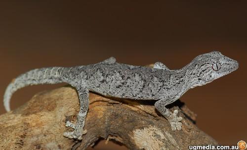 Western spiny-tailed gecko (Strophurus strophurus)