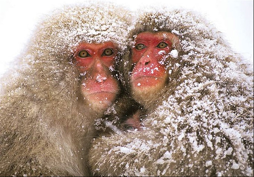 Japanese Baboon Couple.jpg