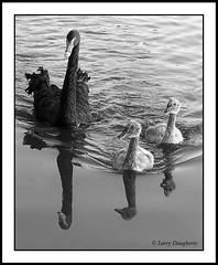 Swans at Lafreniere Park (Larry Daugherty) Tags: baby black water fly swan louisiana kodak wing feathers cygnet metairie lafrenierepark