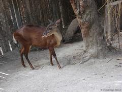 ciervo (Fernando Reyes Palencia) Tags: fauna guatemala animales paisajesdeguatemala bellospaisajesdeguatemala fotosdefernandoreyes guatemalalandscapes fernandoreyespalencia imagenesdeguatemala postalesdeguatemala