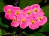BJ458 Duke Gardens (listentoreason) Tags: pink usa plant flower color nature closeup america newjersey unitedstates scenic favorites places olympus greenhouse euphorbia dukegardens crownofthorns euphorbiaceae dicot magnoliophyta angiosperm score35 malpighiales olympusc4040z c4040z