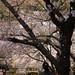 散りゆく季節の桜吹雪