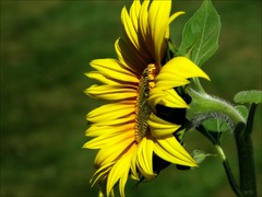 Sunny spot... (Mary Trebilco) Tags: flowers yellow bravo forth sunflowers sunflower tasmania handheld 12xzoom canonpowershots3is forthside badcocksgarden