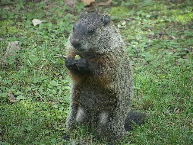 Groundhog1.JPG