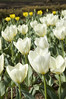 Tulip, Yoyogi Park