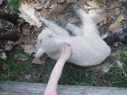 Petting the baby lamb