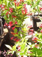 "Weigela florida ""Red Prince"""