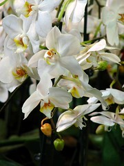Orchids' fall (aGinger) Tags: flowers white orchid canon is hungary budapest phalaenopsis 2008 s3 orchidea floralia noafterwork wonderfulworldofflowers
