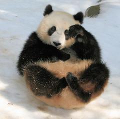 Su playing in the snow (kjdrill) Tags: china california bear usa snow playing animal giant zoo cub panda sandiego bears pandas endangeredspecies sulin 9527a