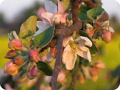 apple blossom4