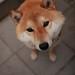 柴犬:LuLu