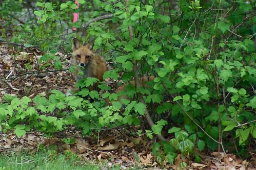 Foxy Mama 1