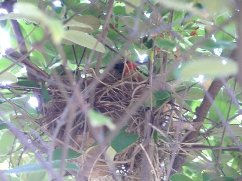 mama cardinal on her nest in the lilac bush