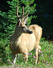 Whispers (WanderWorks) Tags: flowers summer canada tree green nature sunshine forest outside outdoors woods outdoor deer antlers alberta muledeer whispers mule theenchantedcarousel