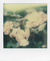 Something delicate and white (ale2000) Tags: impossible instant instantphotography analog analogue sx70 white natire bianco petals petali natura blossoming flowers fiori green verde foliage