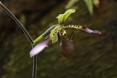 Muttart Conservatory, February 2016 (Julian Rossi) Tags: muttartconservatory orchid flower