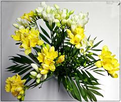 (#3.253) Freesien [Explore] (unicorn 81) Tags: explorephoto explore freesien straus blumenstraus blumen blume pflanze blüte freesia freiasbouquet bouquetofflowers fleurop flower plants