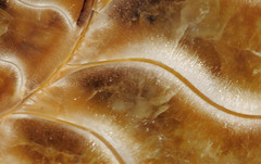 Recrystallized ammonite septae (cocoi_m) Tags: abstract nature fossil crystal ammonite cephalopod macrophotograph septae recrystallized