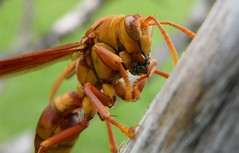 A huge hornet eating a small insect (Carlos Andrs Rivera) Tags: pictures macro beautiful beauty wonderful de colombia great carlos super olympus best sp fotos andres rivera calderon 565 mejores uz cauca avispa popayan carlosrivera vosplusbellesphotos carlosarivera