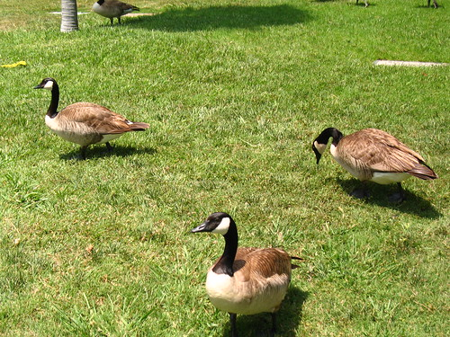 Geese at Hollywood Forever (2)
