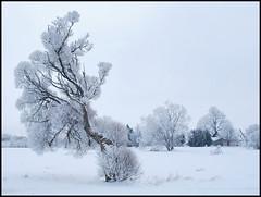 14 (Bargais) Tags: winter latvia koks latvija kuldiga ziema kuldīga