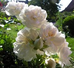 Oktober-Rosen (multiflora) Tags: oktober rose garden gtaggroup