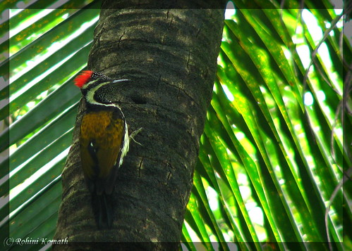 Lesser Goldenbacked WoodPecker (F)