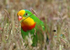 SUPERB PARROT Polytelis swainsonii (beeater) Tags: birds nsw avifauna australianbirds frogmore polytelisswainsonii australiannativebirds nativeaustralianbirds birdsoftheact