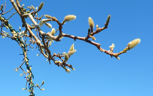 Kobus Magnolia