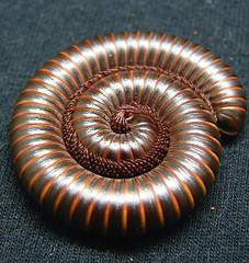 American Desert Millipede (Furryscaly) Tags: orthoporus northamericandesertmillipede myriapoda diplopoda chilognatha helminthomorpha spirostreptida spirostreptidae desertmillipede americandesertmillipede north american desert millipede spiral coil coiled defense defensive defenseposture circle round banded segments segmented legs protect protected protection protecting macro closeup bug arthropoda arthropod invertebrate myriapod diplopod pet animal exoticpet brown petbug petmillipede taxonomy:kingdom=animalia taxonomy:phylum=arthropoda taxonomy:subphylum=myriapoda taxonomy:class=diplopoda taxonomy:order=spirostreptida taxonomy:family=spirostreptidae taxonomy:genus=orthoporus captive captivity