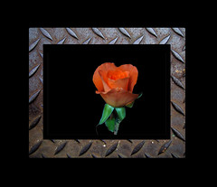 a rose-2 cd2