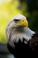 Bald Eagle (kotobuki711) Tags: brown green bird yellow eyes eagle florida baldeagle beak feathers bald fl predator birdsofprey audubon maitland sici avianexcellence