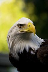 Bald Eagle (kotobuki711) Tags: brown green bird yellow eyes eagle florida baldeagle beak feathers bald fl predator birdsofprey audubon maitland sici avianexcellence