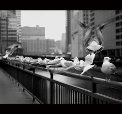 the commute (lucy_nka) Tags: chicago 50mm downtown gulls flight chicagoriver 18 unionstation walktowork artinstitute thecommute artlibre