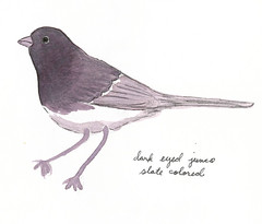 lunchtime painting: slate colored junco