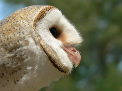 A Barn Owl In Profile (ianmichaelthomas) Tags: friends birds australia healesville healesvillesanctuary victoria birdwatching raptors owls birdsofprey birdwatcher smorgasbord barnowls animaladdiction specanimal goldenmix australiannativebirds avisittothezoo wildlifeofaustralia animalcraze worldofanimals auselite naturewatcher australianbirdsofprey wonderfulworldmix raptorialbirds australianraptors itsazoooutthere flickrlovers vosplusbellesphotos flickrsbestcreatures