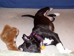 DSCF0086 (BaltimoreGal) Tags: stella dog puppy mutt maryland baltimore pitbull blackdog labmix mixedbreed puppeh pitmix pitbullmix pitlab stellathedog
