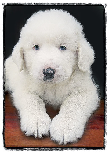 "Great Pyrenees Puppy ""Bear Paws"""