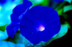 flores: ipomoea (Edison Zanatto) Tags: flowers brazil flores flower southamerica azul brasil nikon flor  fabulous blume nikonn90s americadosul ipomoea sdamerika ipomoeapurpurea fujicolorprovalue200 filme35mm salveanatureza continentesulamericano edisonzanatto