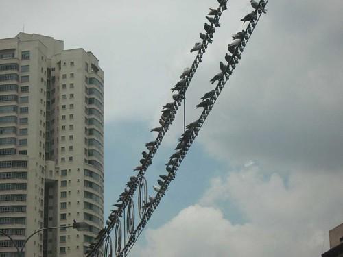 Pigeons in Brickfields, Kuala Lumpur