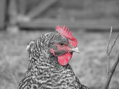 Posing chicken