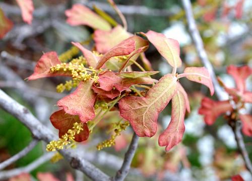 Quercus marilandica leaves and flowers