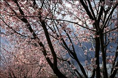 ashland in bloom (jody9) Tags: oregon april ashland springtime plumtree pinkshoe allinbloom