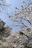 桜, 熊本城