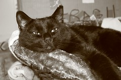 (tygress_janie) Tags: cats cute animal animals cat furry kitten feline chat fuzzy kitty gatos gato kitties gata felines katze gatto animale cutecat cutecats tier kaz katt ktzchen ket gatas cutekitten cutekittens mo maxset