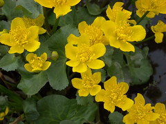 Rentukka (Elsa Kurppa) Tags: flower yellow suomi finland spring blomma 2008 gul vr marshmarigold calthapalustris kingcup   kevt kukka  keltainen rentukka kabbleka  elsakurppa