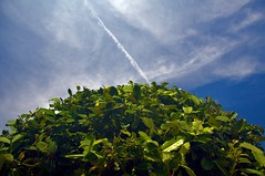 Green is Good (The Rocketeer) Tags: sky contrail chemtrail shrubbery symmetryinterrupted